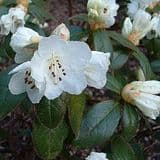 Rhododendron 'Snow Lady' - Find Azleas,Camellias,Hydrangea and Rhododendrons at Loder Plants